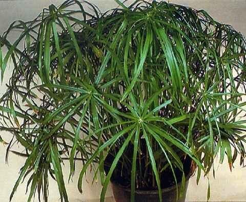 Какие комнатные растения нельзя