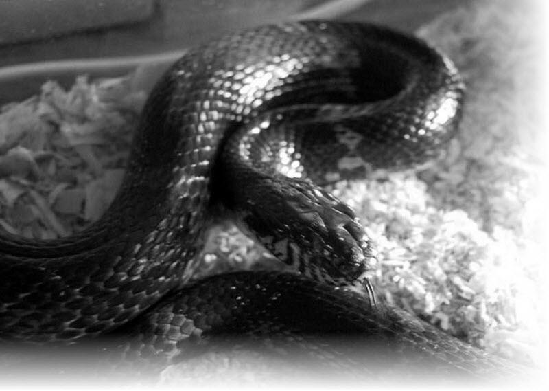 К чему снятся змеи днем